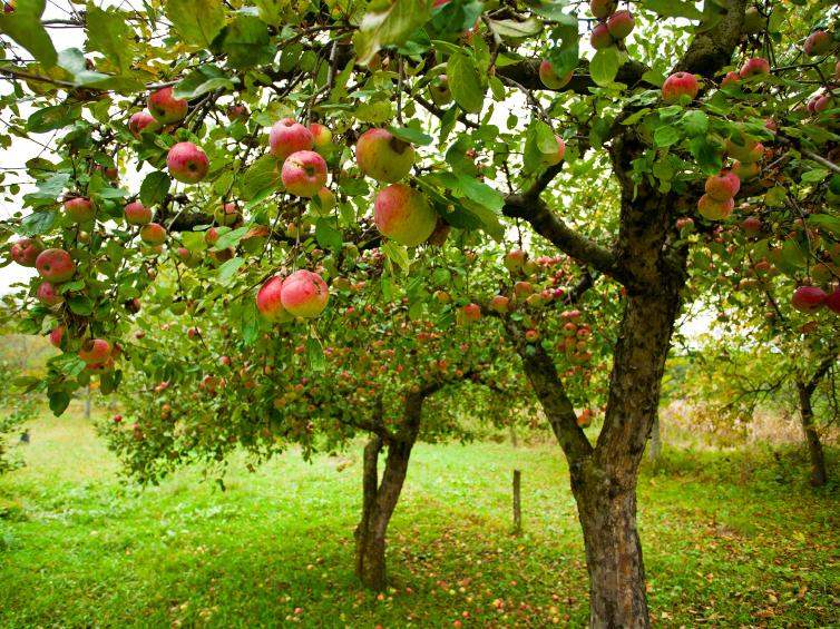 Pruning a 100-Year-Old Apple Tree